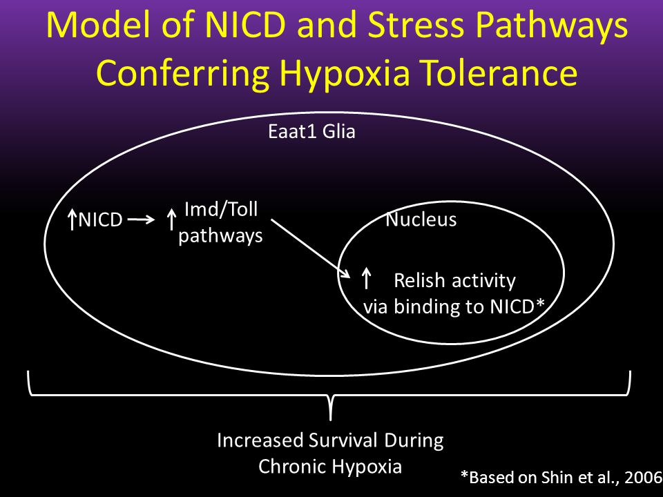 Increased Survival During Chronic Hypoxia Model of NICD and Stress Pathways Conferring Hypoxia Tolerance Eaat1 Glia NICD Imd/Toll pathways Relish acti