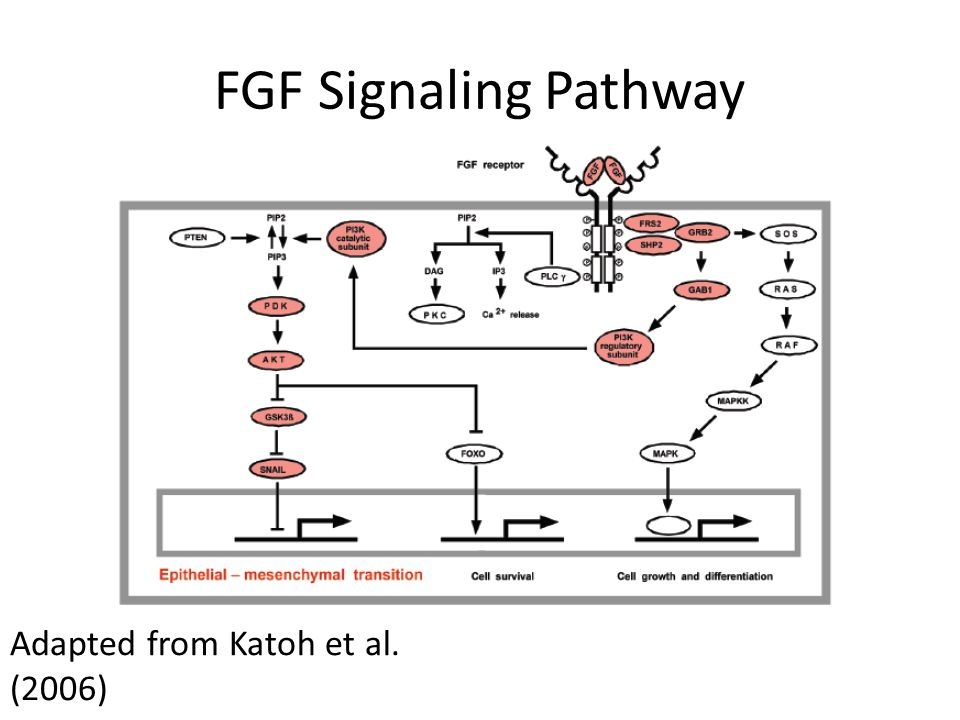 FGF Signaling Pathway Adapted from Katoh et al. (2006)
