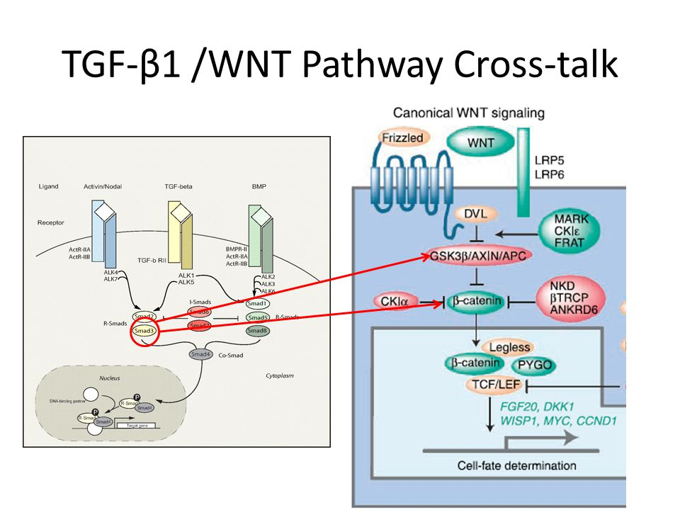 TGF-β1 /WNT Pathway Cross-talk