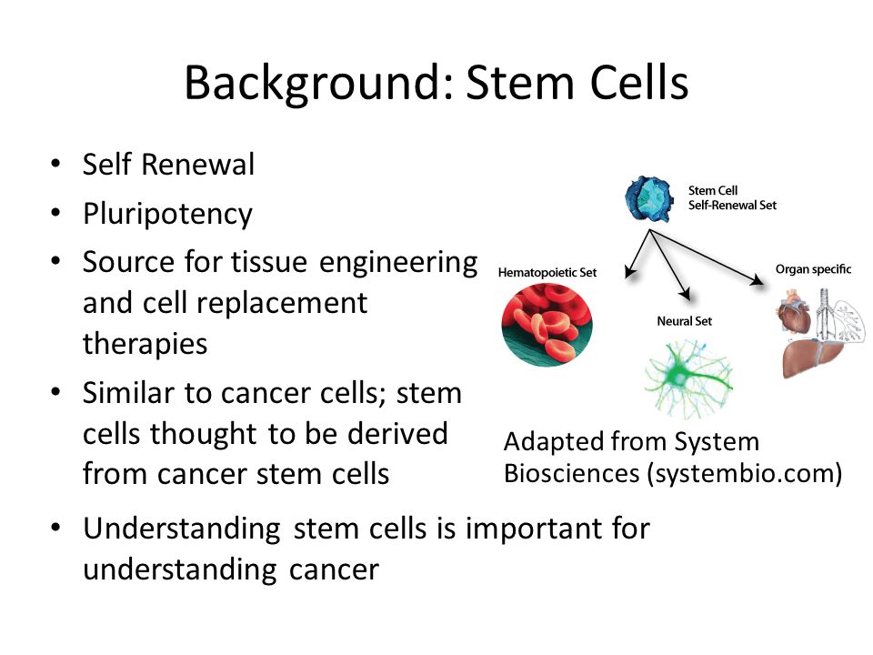 Self Renewal Pluripotency Source for tissue engineering and cell replacement therapies Similar to cancer cells; stem cells thought to be derived from