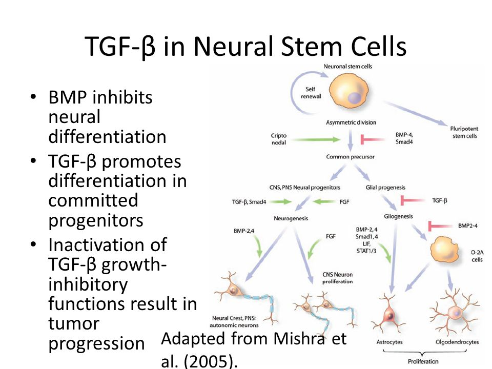 TGF-β in Neural Stem Cells BMP inhibits neural differentiation TGF-β promotes differentiation in committed progenitors Inactivation of TGF-β growth- i