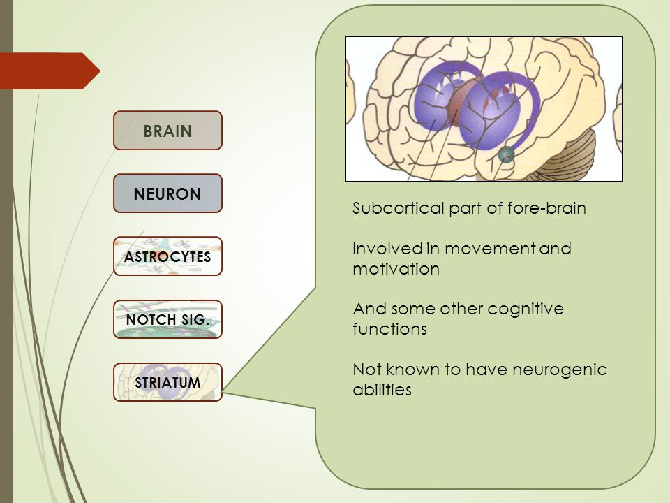 BRAIN NEURON ASTROCYTES NOTCH SIG. STRIATUM Subcortical part of fore-brain Involved in movement and motivation And some other cognitive functions Not