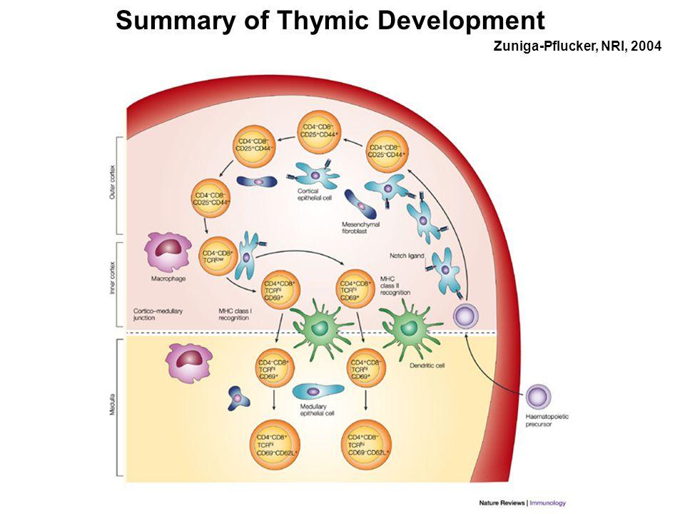 Summary of Thymic Development Zuniga-Pflucker, NRI, 2004