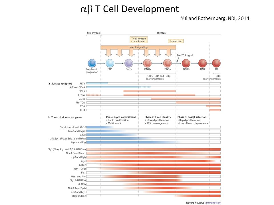 T Cell Development Yui and Rothernberg, NRI, 2014