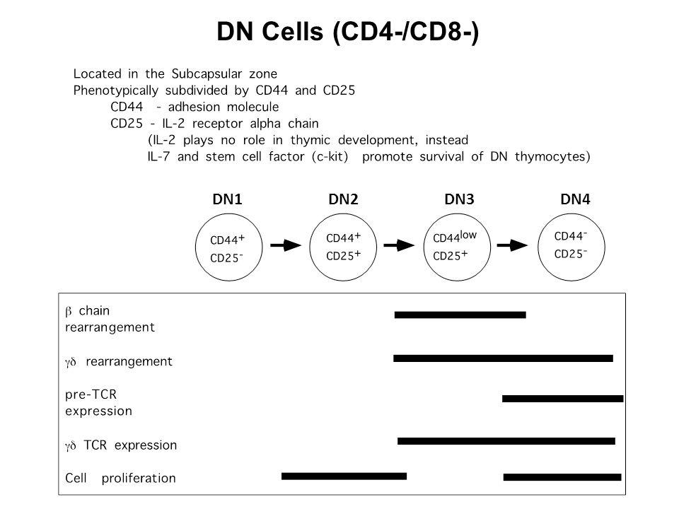 DN Cells (CD4-/CD8-) DN1 DN2 DN3 DN4