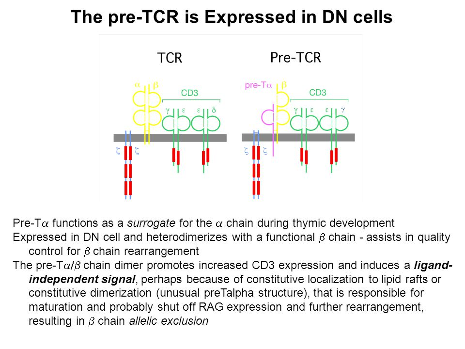 The pre-TCR is Expressed in DN cells Pre-T  functions as a surrogate for the  chain during thymic development Expressed in DN cell and heterodimerizes with a functional  chain - assists in quality control for  chain rearrangement The pre-T  chain dimer promotes increased CD3 expression and induces a ligand- independent signal, perhaps because of constitutive localization to lipid rafts or constitutive dimerization (unusual preTalpha structure), that is responsible for maturation and probably shut off RAG expression and further rearrangement, resulting in  chain allelic exclusion 