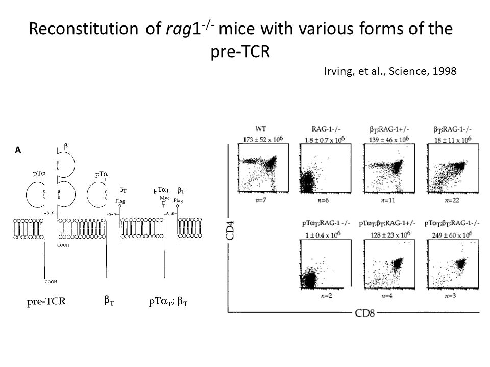 Reconstitution of rag1 -/- mice with various forms of the pre-TCR Irving, et al., Science, 1998