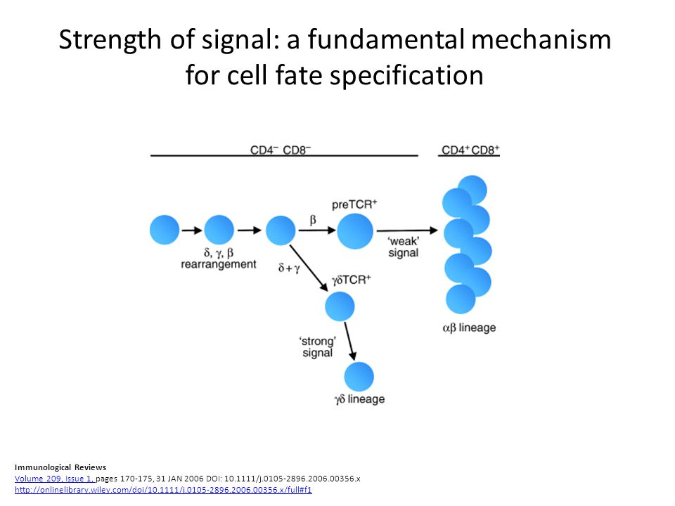 Strength of signal: a fundamental mechanism for cell fate specification Immunological Reviews Volume 209, Issue 1, pages 170-175, 31 JAN 2006 DOI: 10.1111/j.0105-2896.2006.00356.x http://onlinelibrary.wiley.com/doi/10.1111/j.0105-2896.2006.00356.x/full#f1 Volume 209, Issue 1, http://onlinelibrary.wiley.com/doi/10.1111/j.0105-2896.2006.00356.x/full#f1