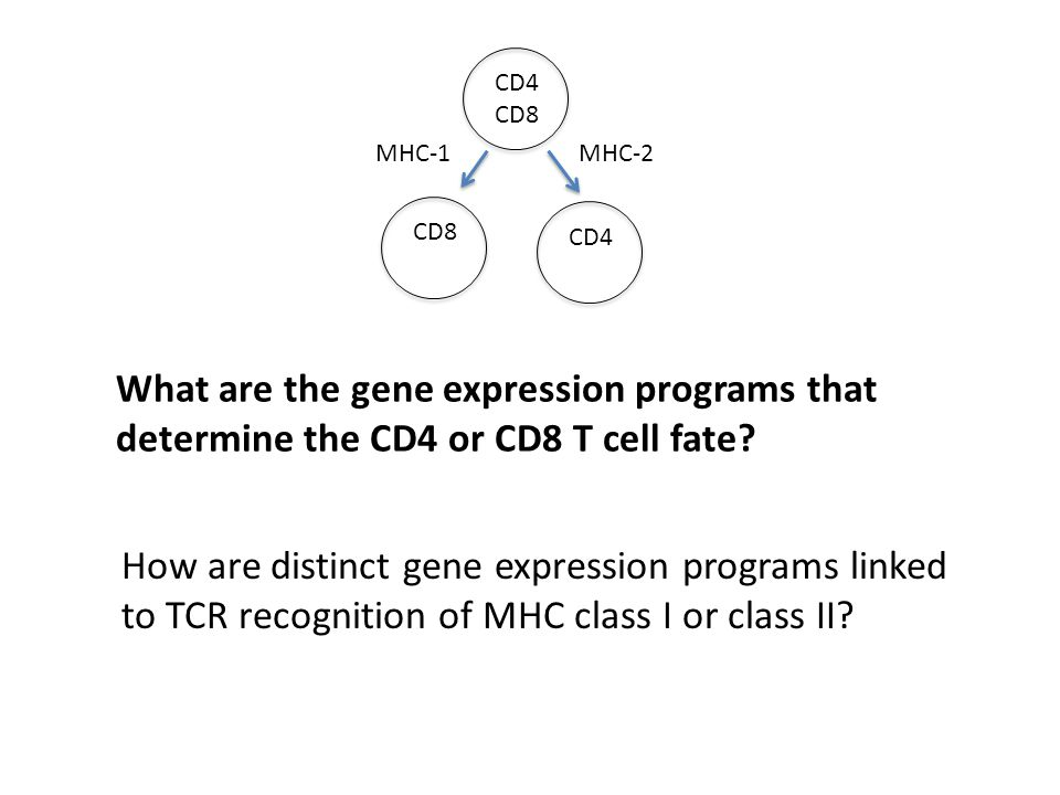 What are the gene expression programs that determine the CD4 or CD8 T cell fate.