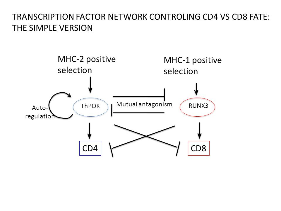 MHC-2 positive selection ThPOK CD4 RUNX3 CD8 TRANSCRIPTION FACTOR NETWORK CONTROLING CD4 VS CD8 FATE: THE SIMPLE VERSION Mutual antagonism Auto- regulation MHC-1 positive selection
