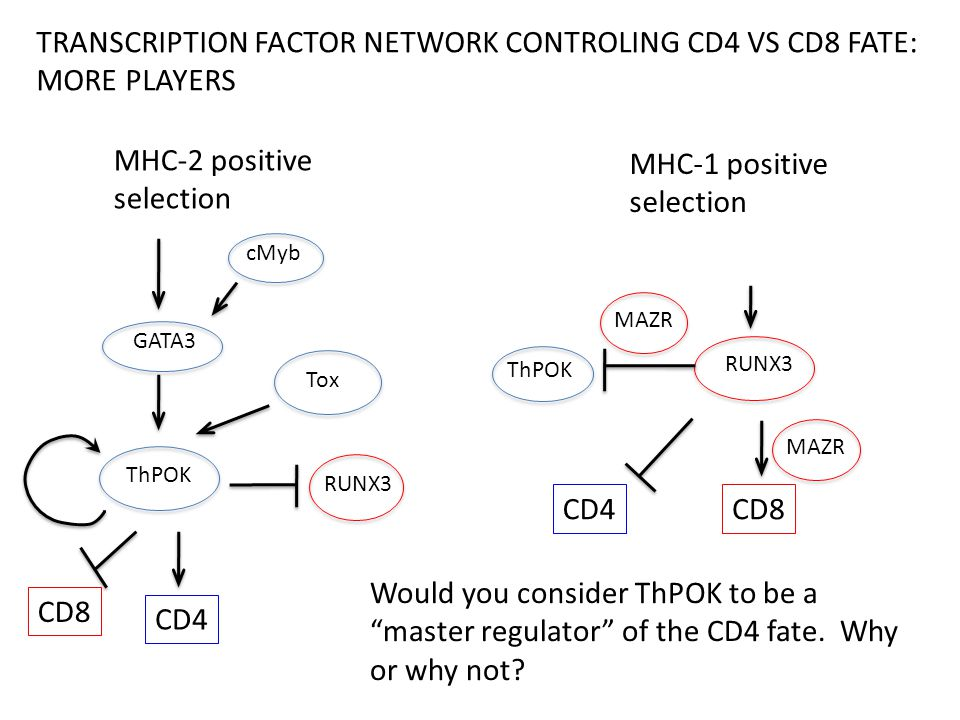 ThPOK CD4 RUNX3 CD8 TRANSCRIPTION FACTOR NETWORK CONTROLING CD4 VS CD8 FATE: MORE PLAYERS CD4 RUNX3 CD8 ThPOK GATA3 Tox MAZR cMyb Would you consider ThPOK to be a master regulator of the CD4 fate.