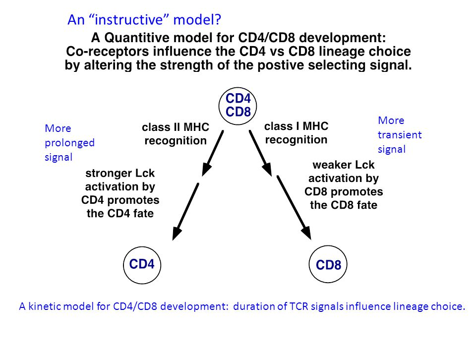 More prolonged signal More transient signal A kinetic model for CD4/CD8 development: duration of TCR signals influence lineage choice.