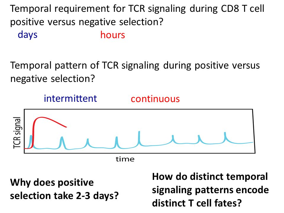 How do distinct temporal signaling patterns encode distinct T cell fates.