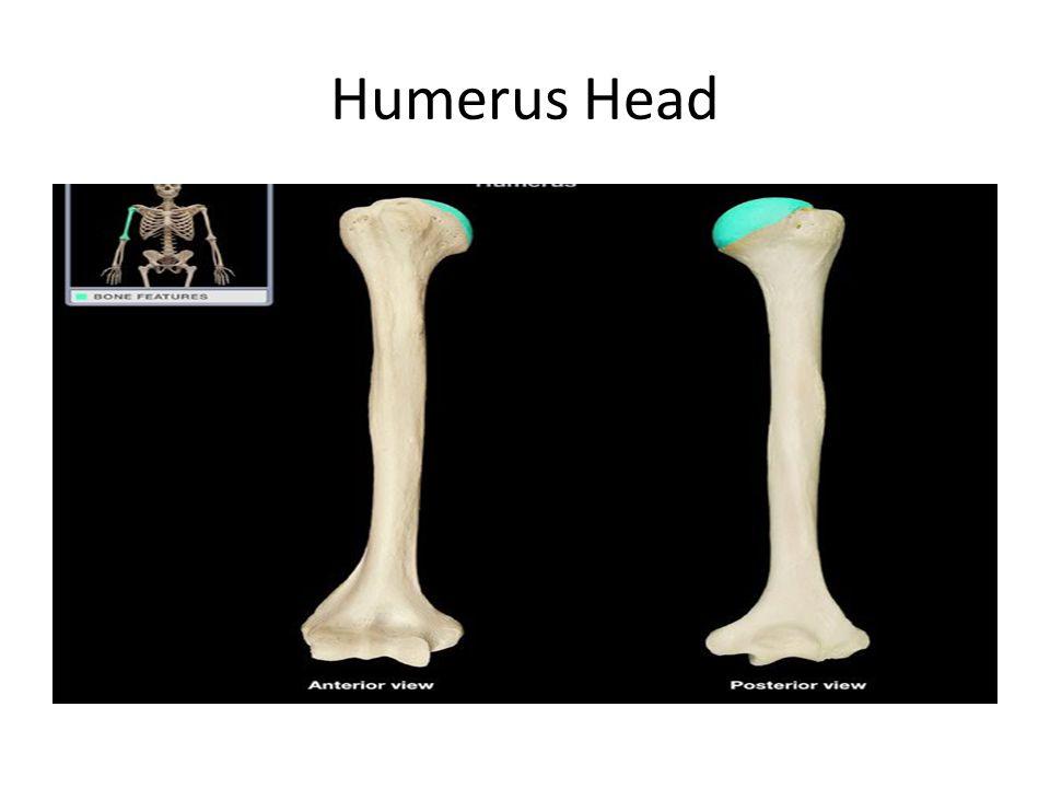 Humerus Head