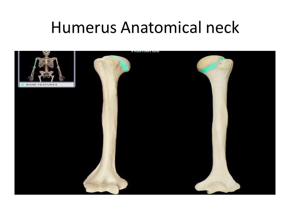 Humerus Anatomical neck