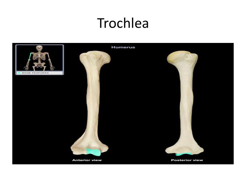 Trochlea