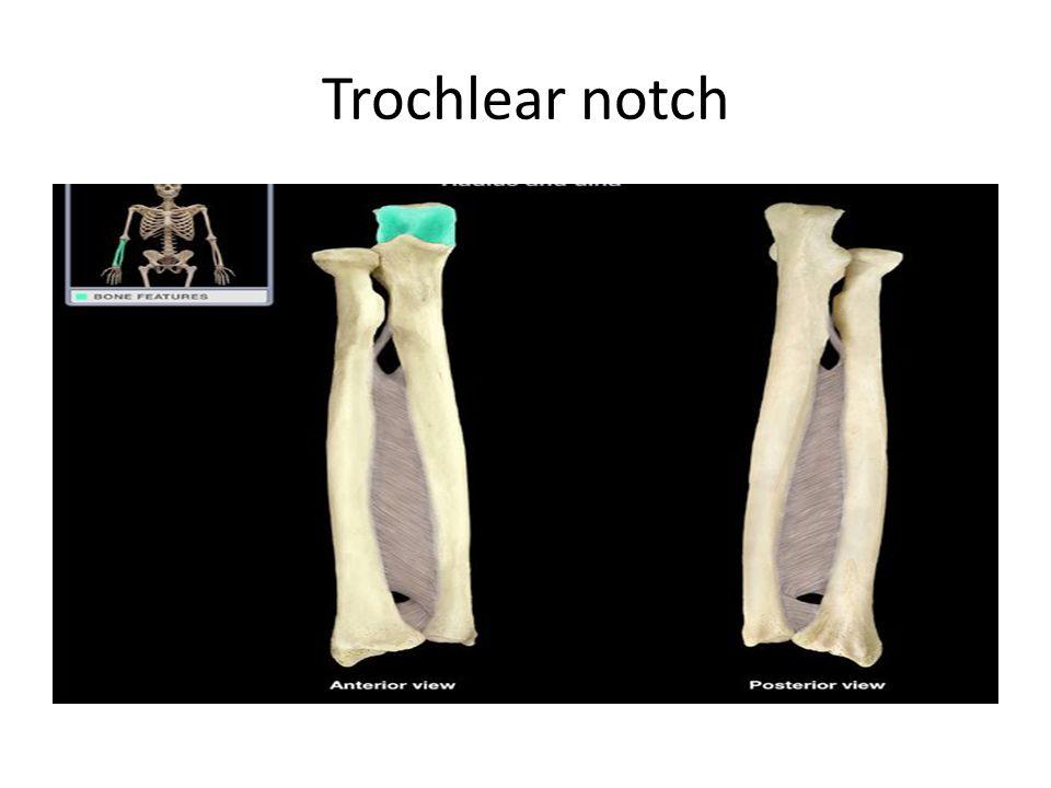 Trochlear notch