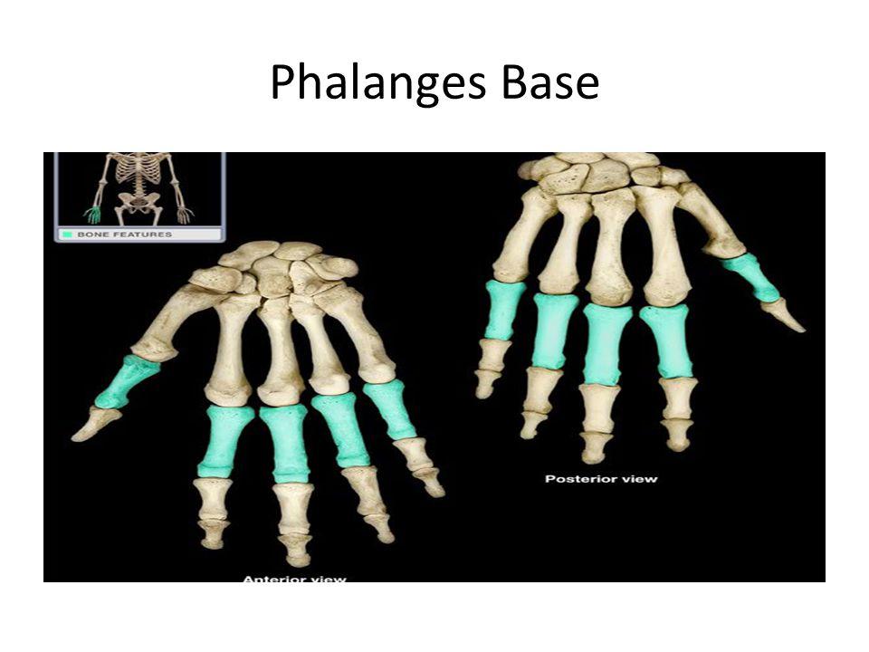 Phalanges Base