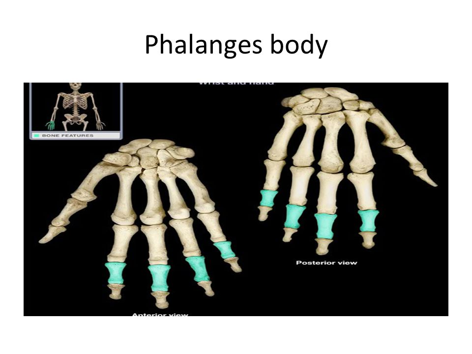 Phalanges body