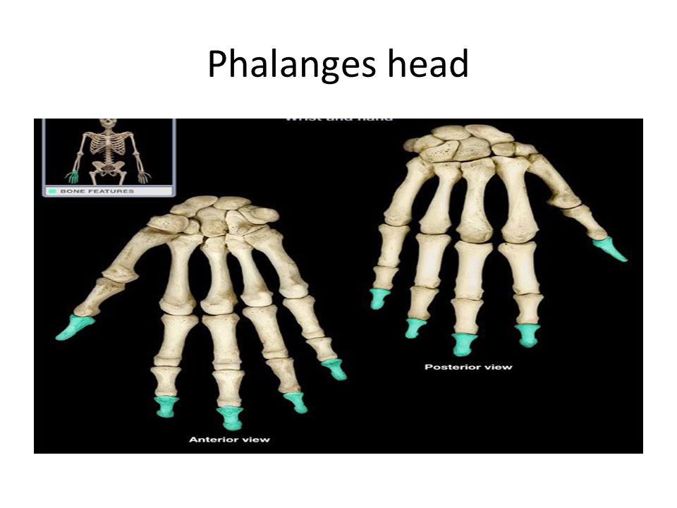 Phalanges head