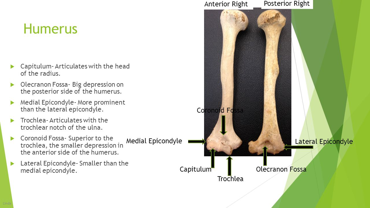 Humerus  Capitulum- Articulates with the head of the radius.  Olecranon Fossa- Big depression on the posterior side of the humerus.  Medial Epicond