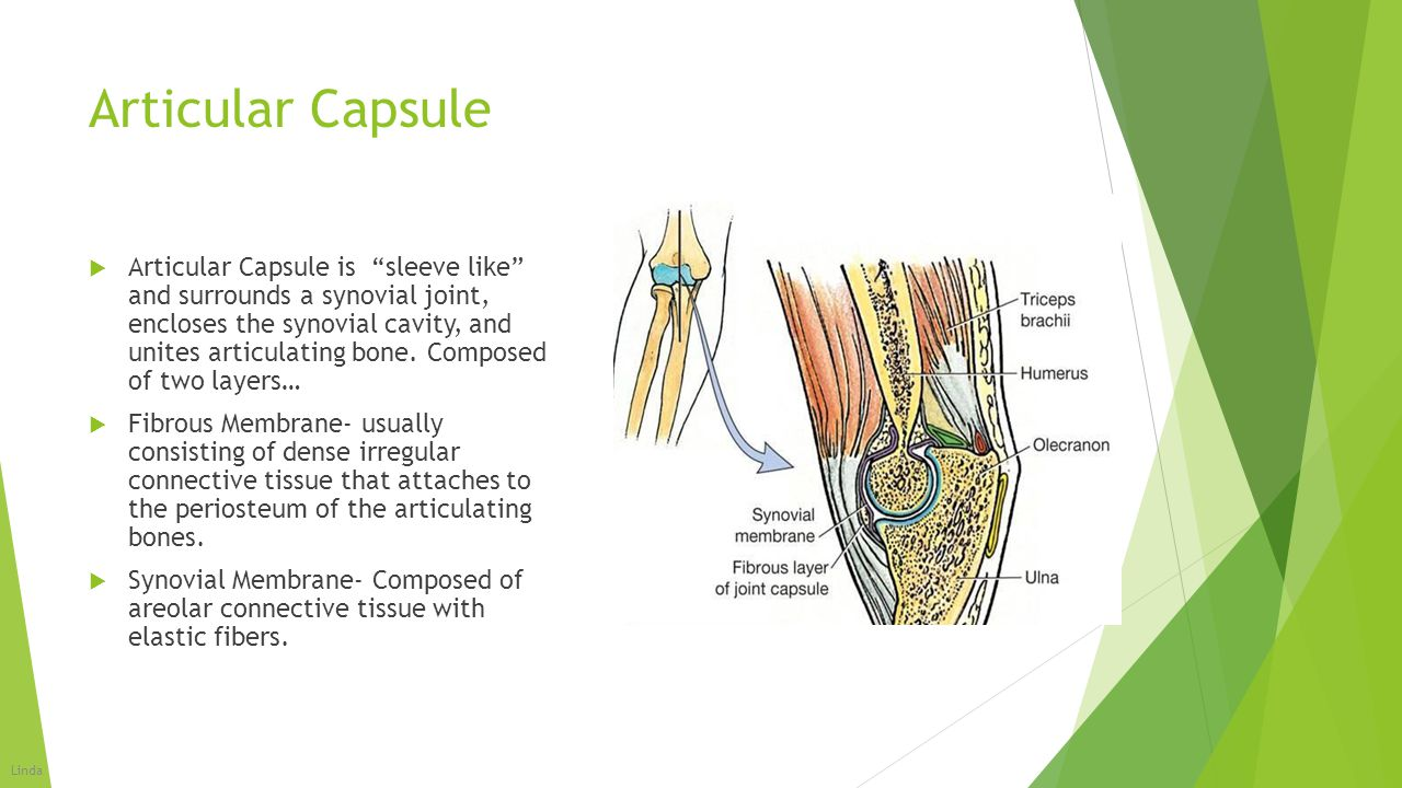 """Articular Capsule  Articular Capsule is """"sleeve like"""" and surrounds a synovial joint, encloses the synovial cavity, and unites articulating bone. Com"""