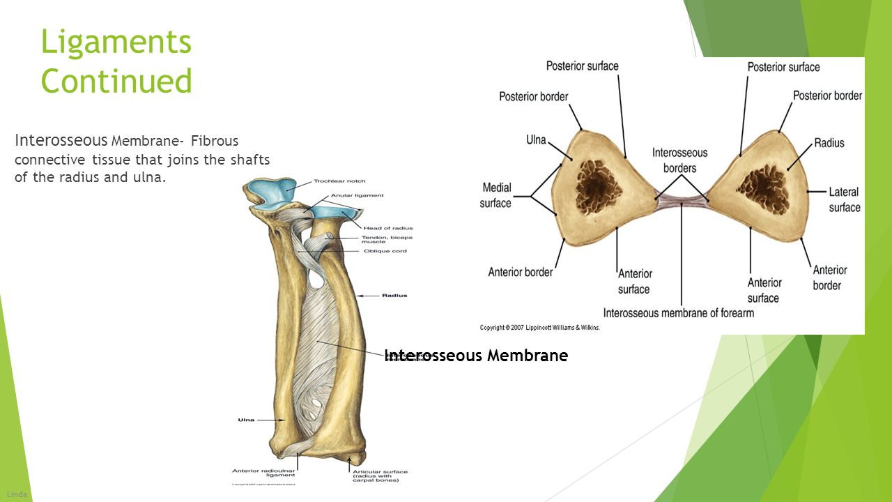 Ligaments Continued Interosseous Membrane- Fibrous connective tissue that joins the shafts of the radius and ulna. Interosseous Membrane Linda