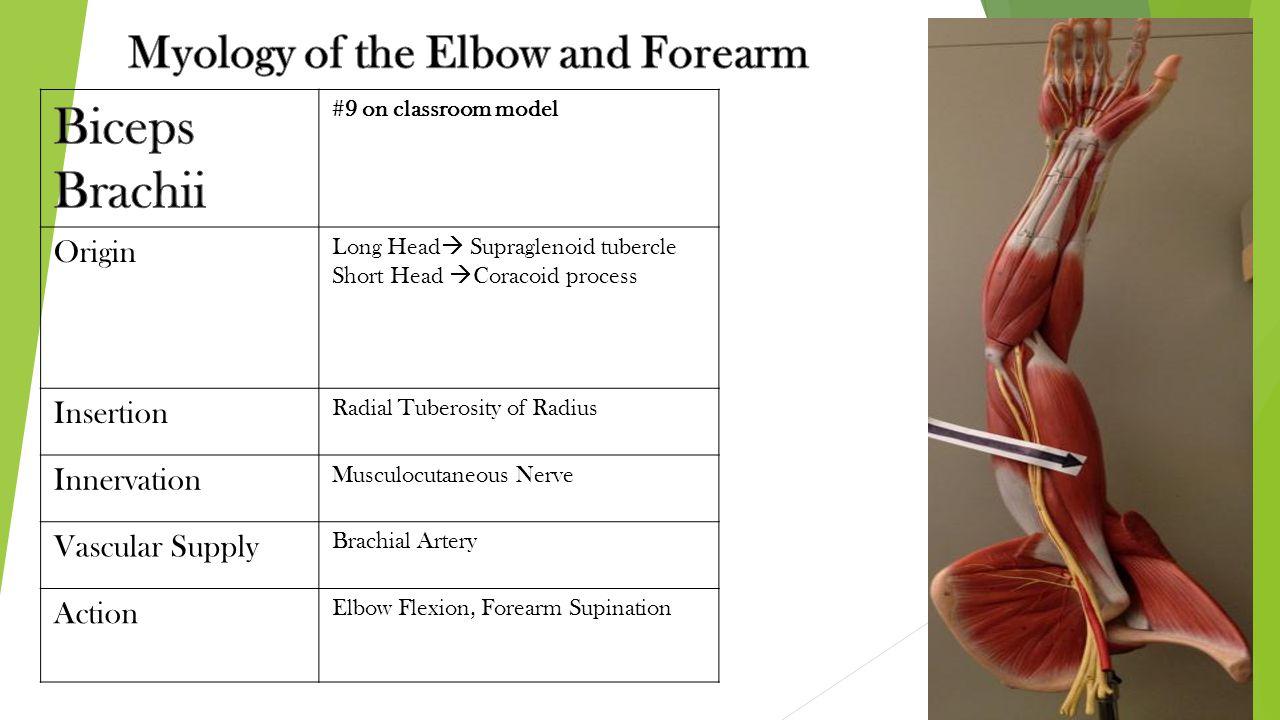 #9 on classroom model Origin Long Head  Supraglenoid tubercle Short Head  Coracoid process Insertion Radial Tuberosity of Radius Innervation Musculo