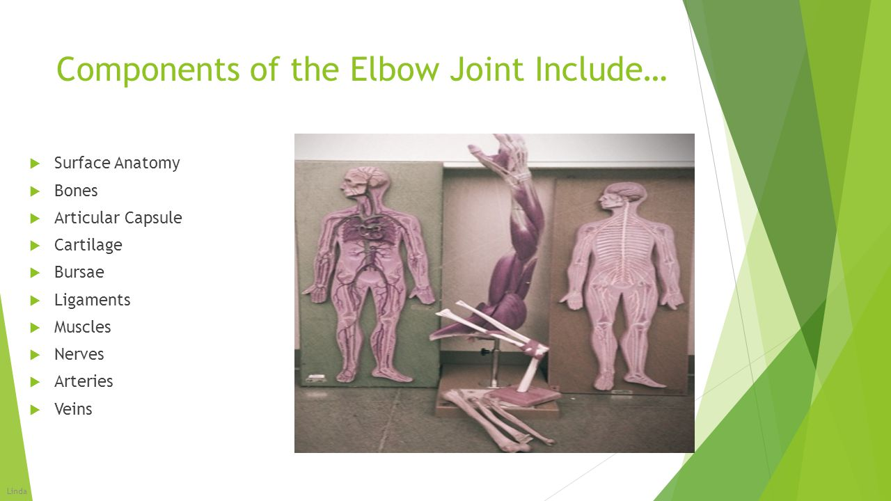Components of the Elbow Joint Include…  Surface Anatomy  Bones  Articular Capsule  Cartilage  Bursae  Ligaments  Muscles  Nerves  Arteries 