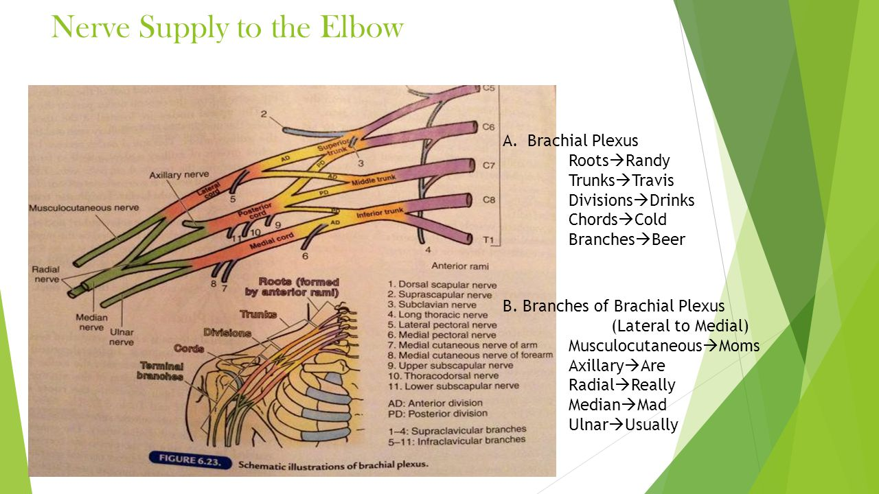 Nerve Supply to the Elbow A.Brachial Plexus Roots  Randy Trunks  Travis Divisions  Drinks Chords  Cold Branches  Beer B. Branches of Brachial Ple