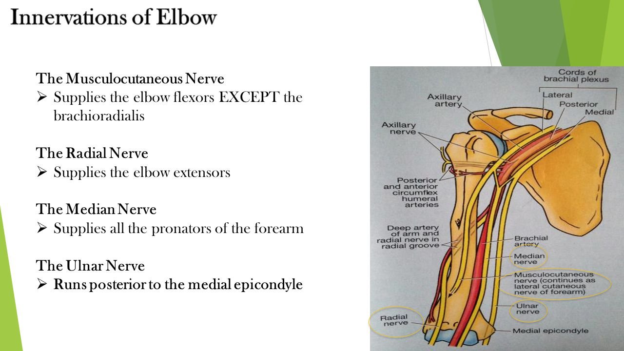 The Musculocutaneous Nerve  Supplies the elbow flexors EXCEPT the brachioradialis The Radial Nerve  Supplies the elbow extensors The Median Nerve 