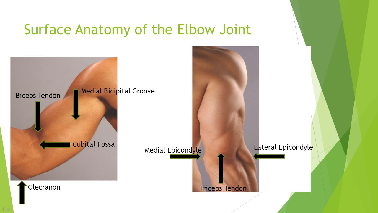 Surface Anatomy of the Elbow Joint Lateral Epicondyle Medial Epicondyle Cubital Fossa Triceps Tendon Olecranon Medial Bicipital Groove Biceps Tendon L