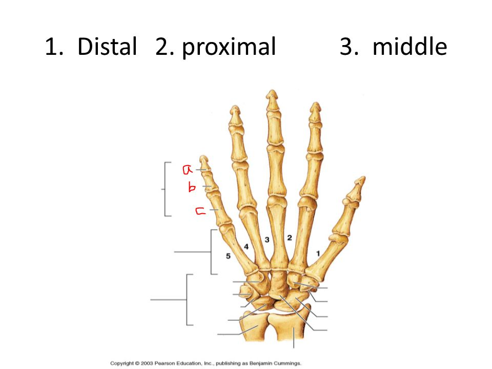 1. Distal 2. proximal3. middle