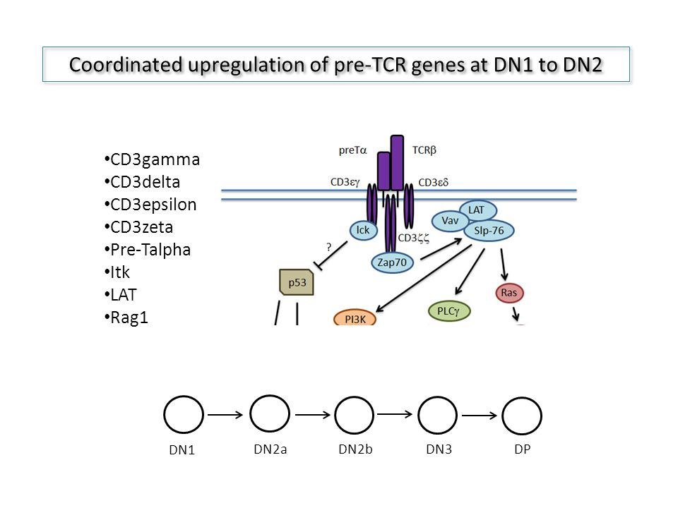 Coordinated upregulation of pre-TCR genes at DN1 to DN2 CD3gamma CD3delta CD3epsilon CD3zeta Pre-Talpha Itk LAT Rag1 DN1 DN2a DN2b DN3 DP