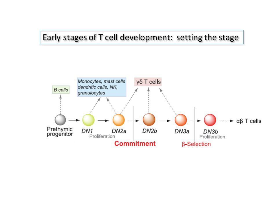 Early stages of T cell development: setting the stage