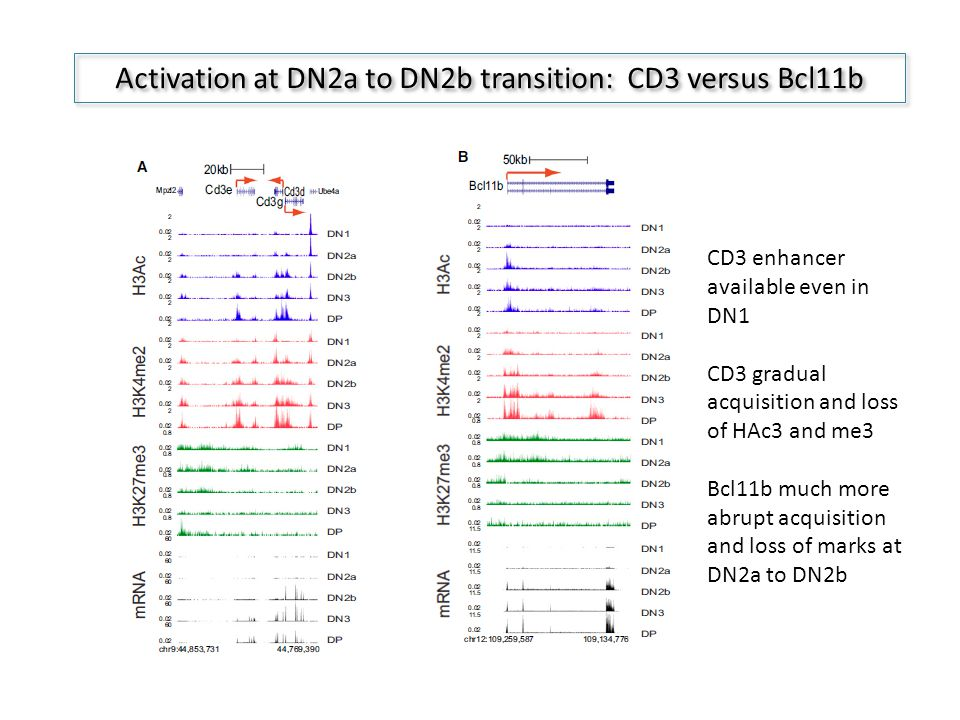 Activation at DN2a to DN2b transition: CD3 versus Bcl11b CD3 enhancer available even in DN1 CD3 gradual acquisition and loss of HAc3 and me3 Bcl11b much more abrupt acquisition and loss of marks at DN2a to DN2b