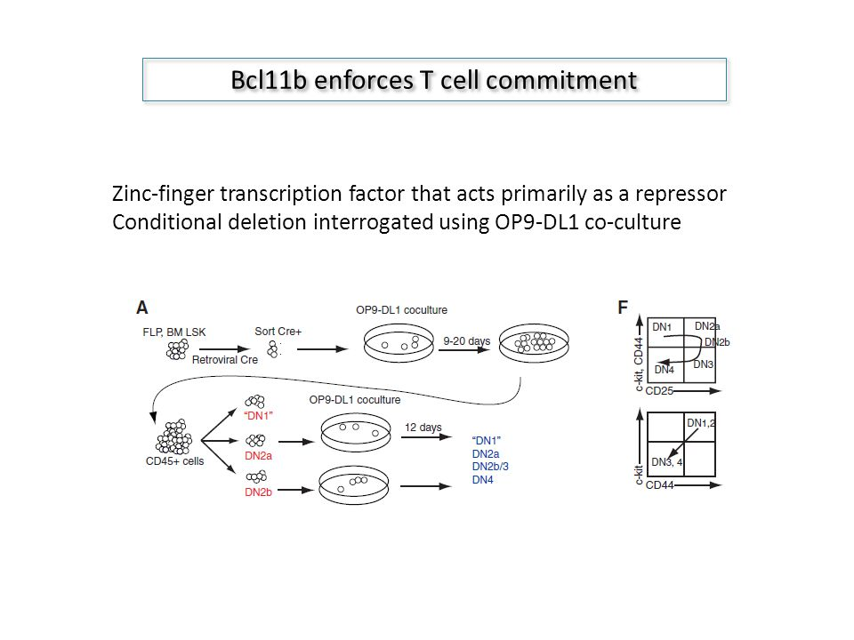 Bcl11b enforces T cell commitment Zinc-finger transcription factor that acts primarily as a repressor Conditional deletion interrogated using OP9-DL1 co-culture