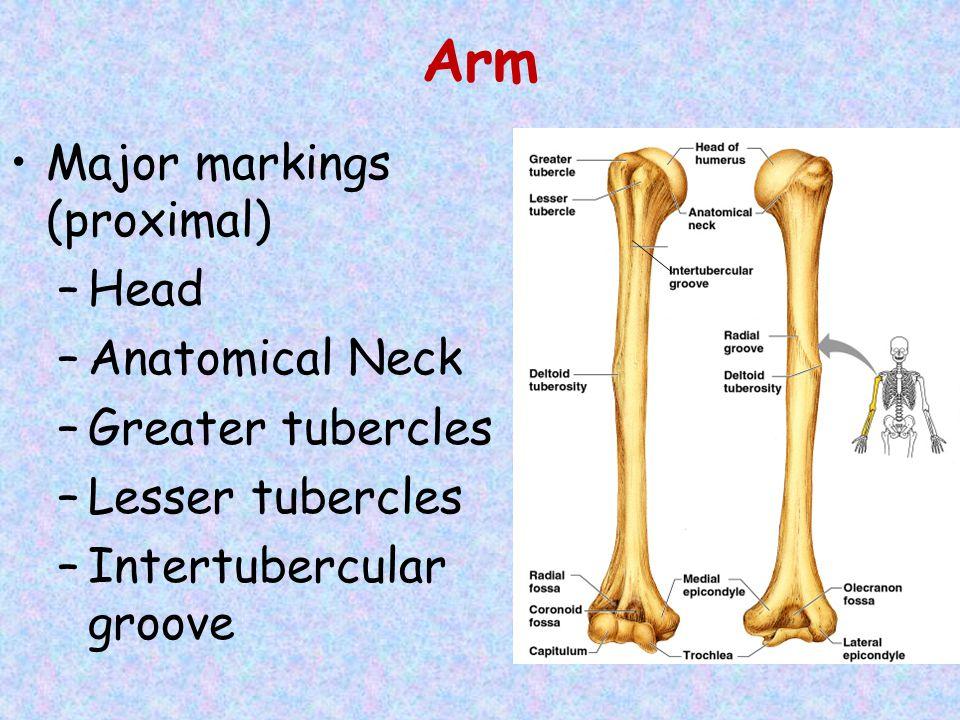Arm Major markings (proximal) –Head –Anatomical Neck –Greater tubercles –Lesser tubercles –Intertubercular groove