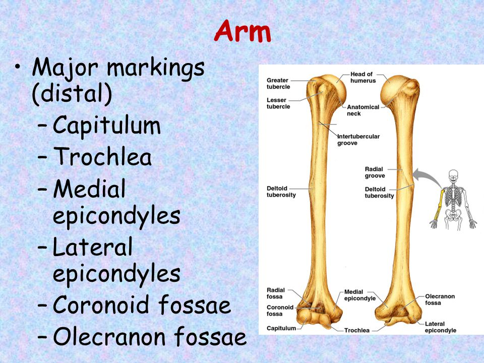 Arm Major markings (distal) –Capitulum –Trochlea –Medial epicondyles –Lateral epicondyles –Coronoid fossae –Olecranon fossae