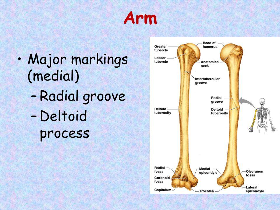 Arm Major markings (medial) –Radial groove –Deltoid process
