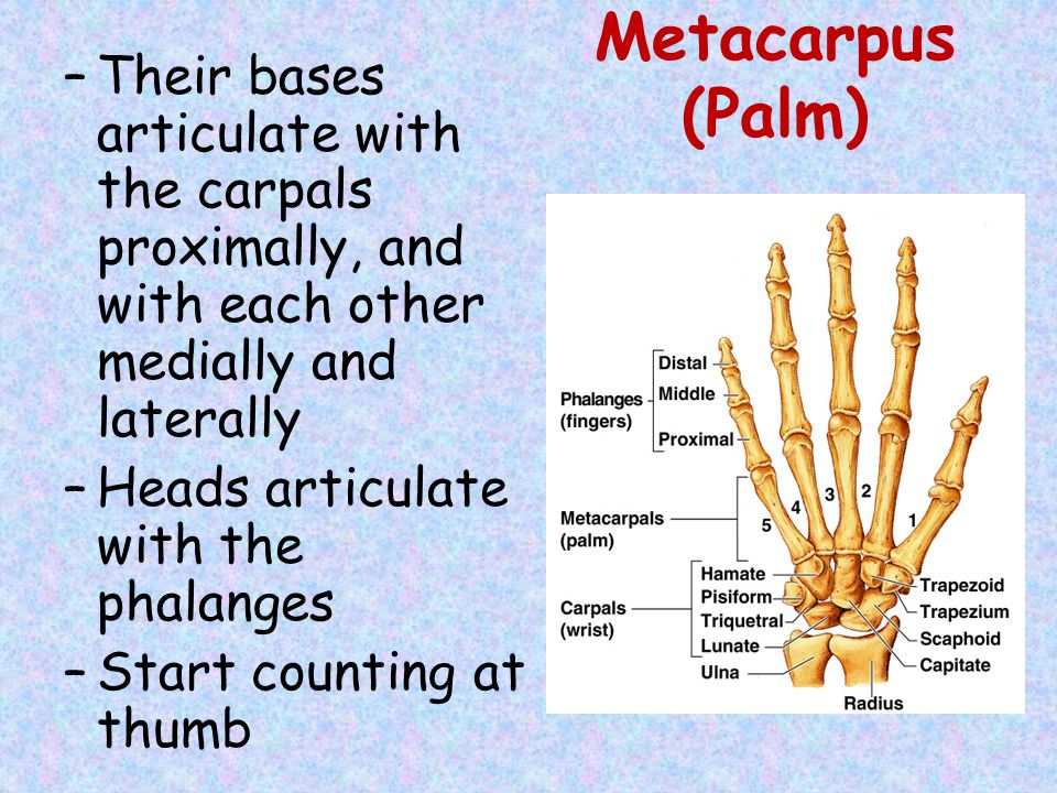 Metacarpus (Palm) –Their bases articulate with the carpals proximally, and with each other medially and laterally –Heads articulate with the phalanges