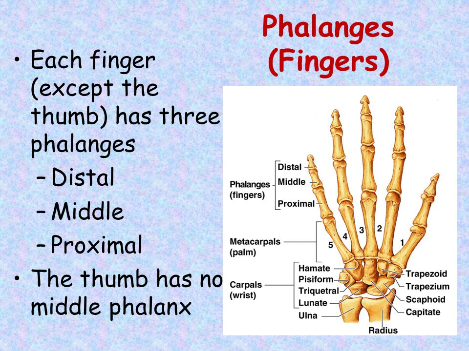 Phalanges (Fingers) Each finger (except the thumb) has three phalanges –Distal –Middle –Proximal The thumb has no middle phalanx
