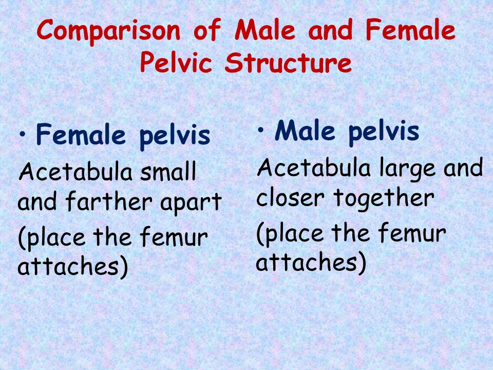 Comparison of Male and Female Pelvic Structure Female pelvis Acetabula small and farther apart (place the femur attaches) Male pelvis Acetabula large