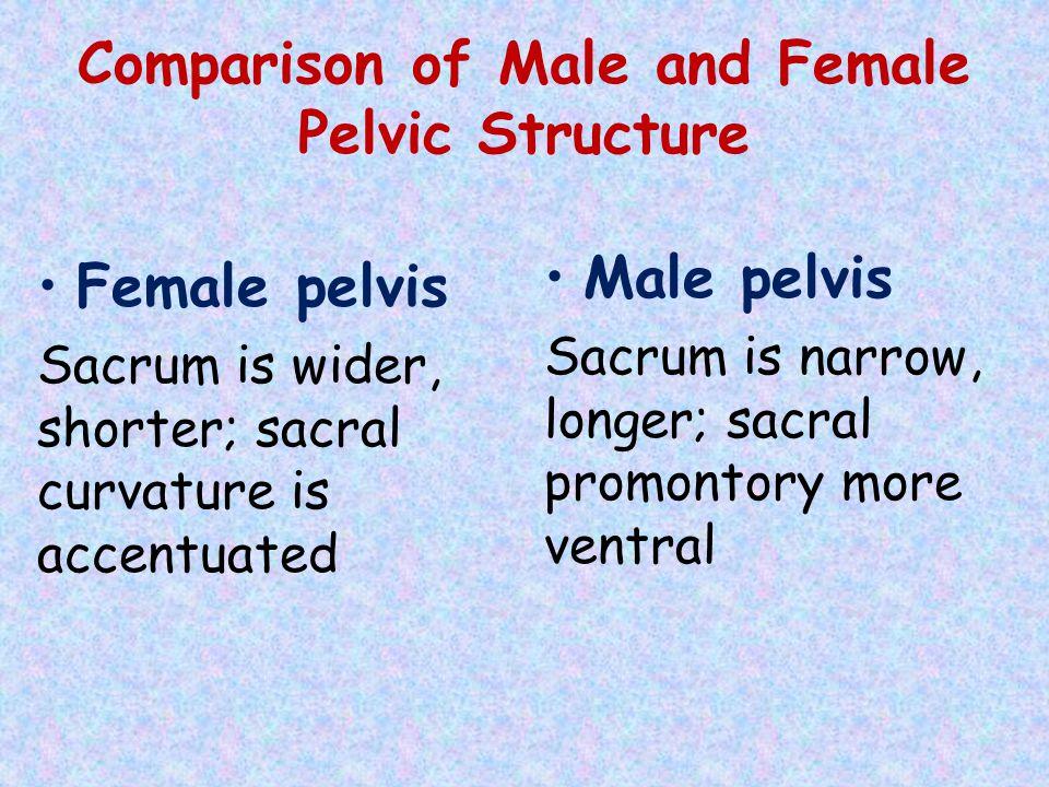 Comparison of Male and Female Pelvic Structure Female pelvis Sacrum is wider, shorter; sacral curvature is accentuated Male pelvis Sacrum is narrow, l
