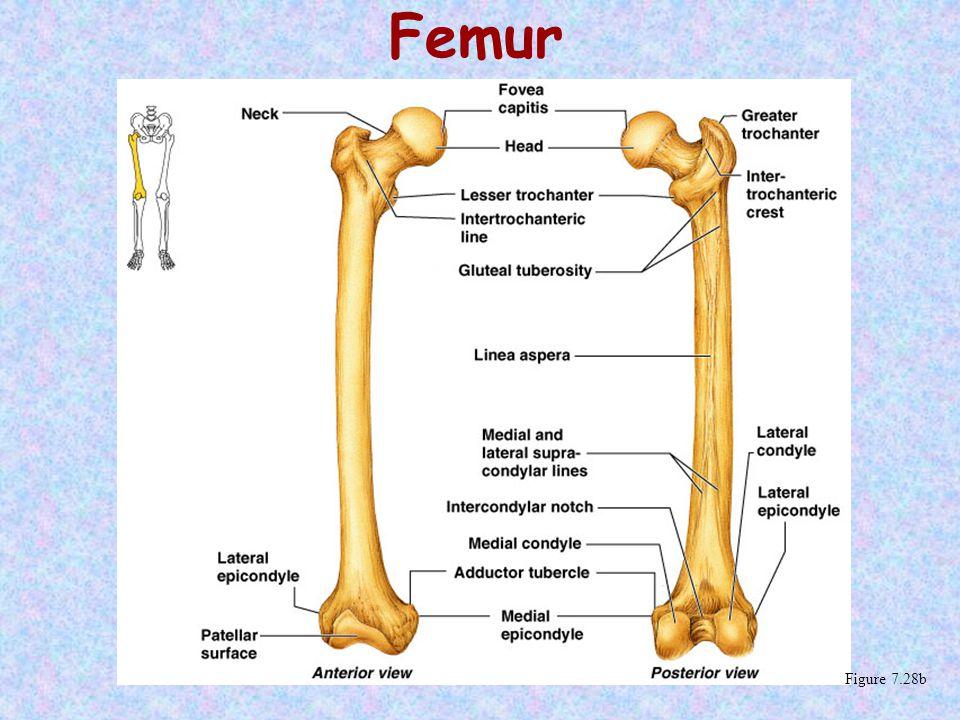 Femur Figure 7.28b
