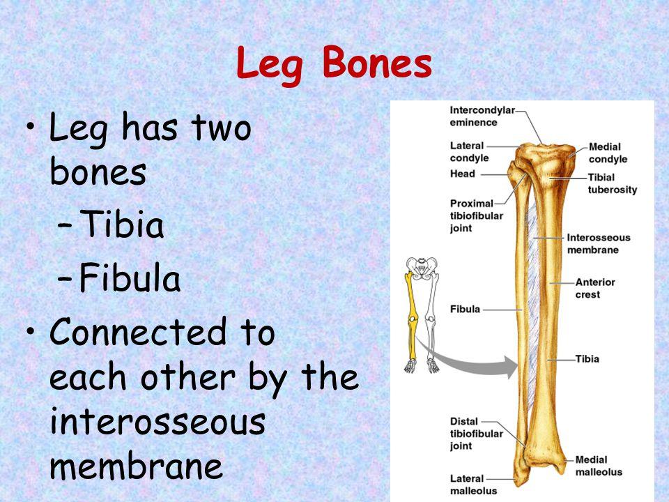 Leg Bones Leg has two bones –Tibia –Fibula Connected to each other by the interosseous membrane