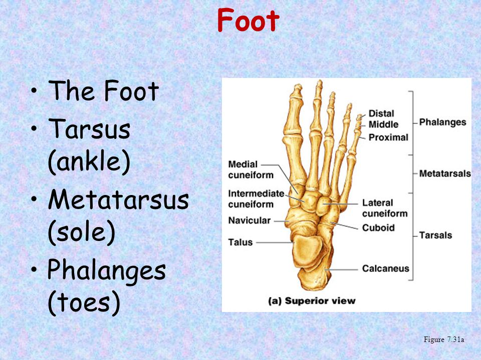 Foot The Foot Tarsus (ankle) Metatarsus (sole) Phalanges (toes) Figure 7.31a