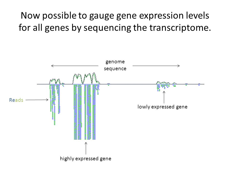 Now possible to gauge gene expression levels for all genes by sequencing the transcriptome. Reads genome sequence lowly expressed gene highly expresse