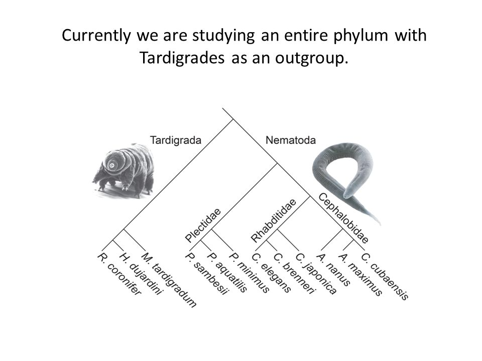 Currently we are studying an entire phylum with Tardigrades as an outgroup.