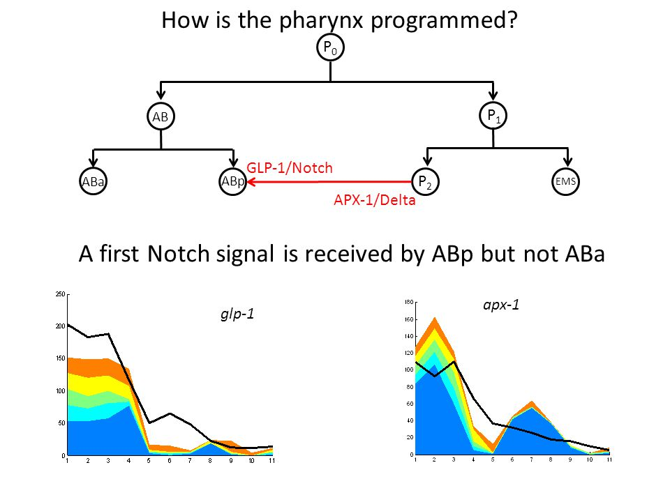 GLP-1/Notch P0P0 P1P1 P2P2 EMS ABp ABa AB APX-1/Delta How is the pharynx programmed? A first Notch signal is received by ABp but not ABa glp-1 apx-1